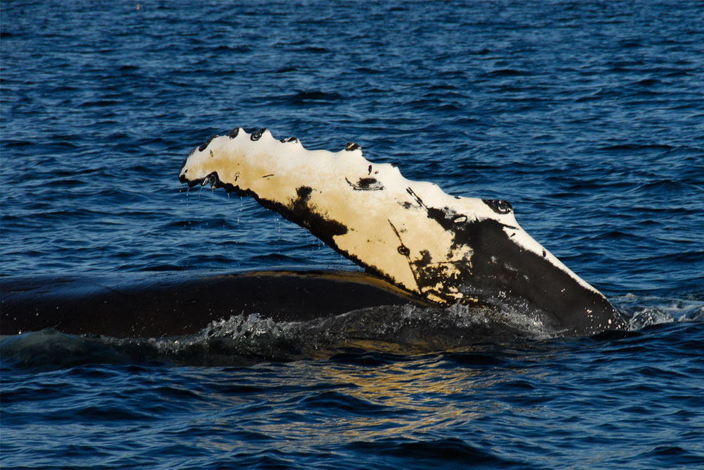 Whale Watching - Great Bear Rainforest
