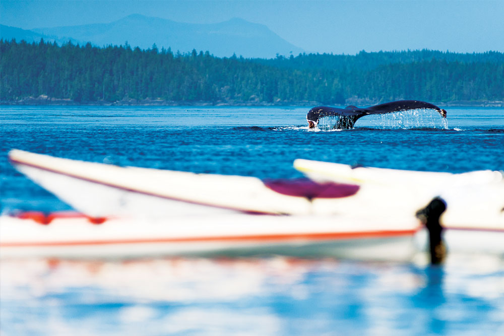 Humpback whale in the Broughton Archipelago
