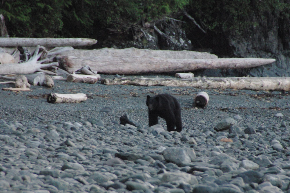 BC Wildlife Photo, Bear