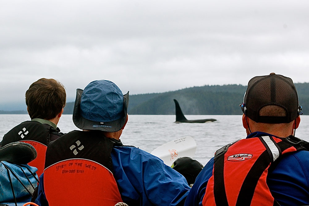 Watching Orcas from Kayak