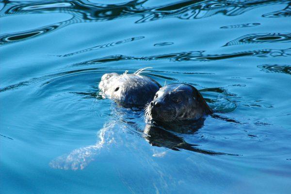 Two seals in Johnstone Strait
