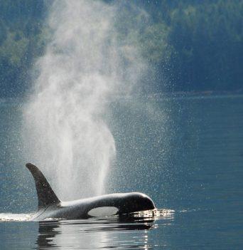 BC Orca Kayaking