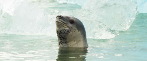 kayak patagonia wildlife leopard seal