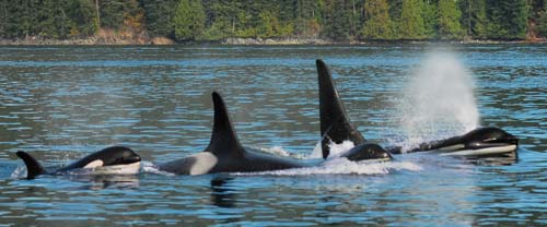 BC Orca Whales
