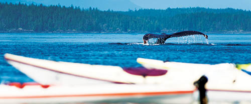 humpback tail in blackfish sound kayaking vancouver island