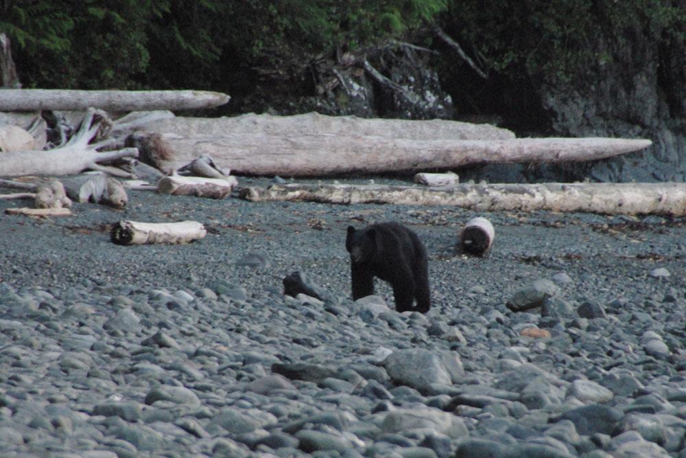 BC Wildlife Photo, Bear