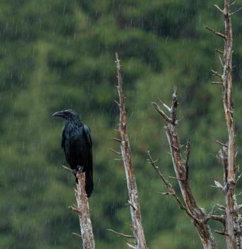 Raven in the rain in Johnstone Strait
