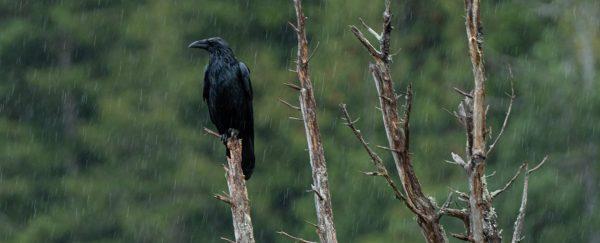 Raven in the rain Johnstone Strait