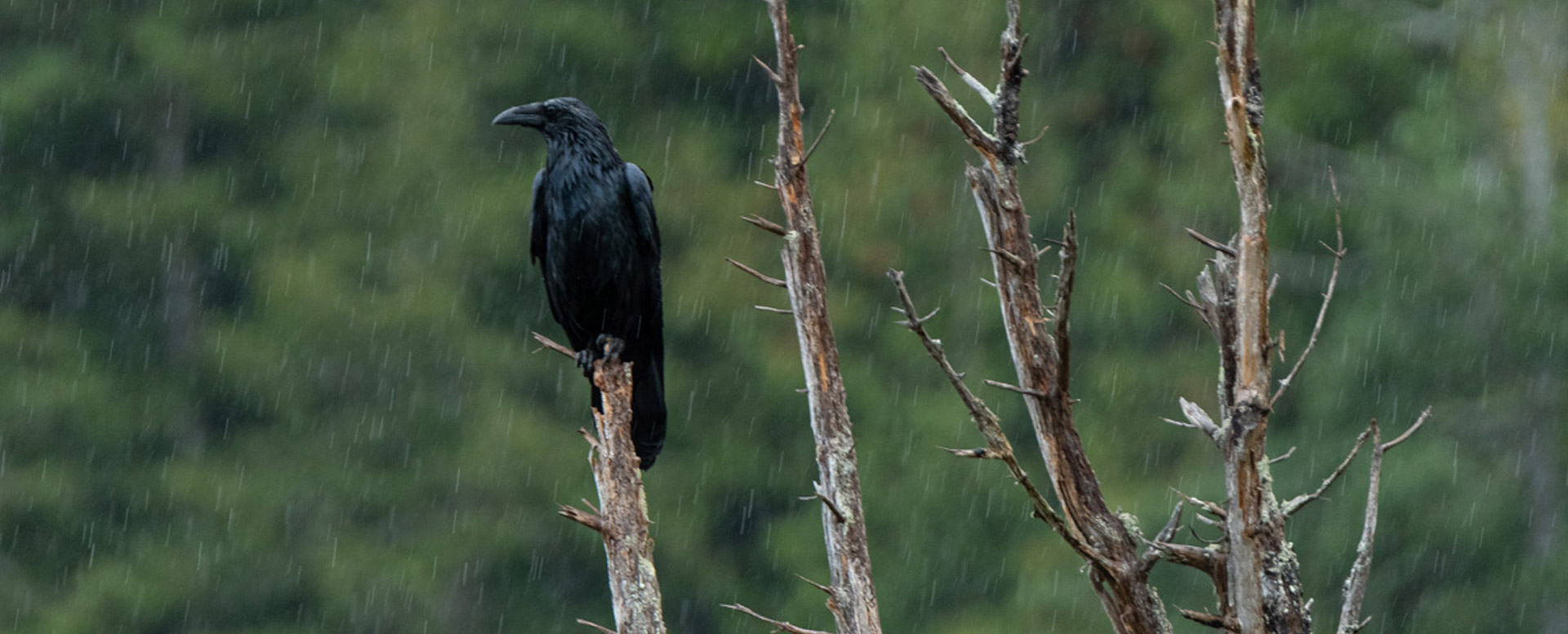 Raven in the rain Johnstone Strait