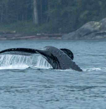 Humpback tail in Johnstone Strait