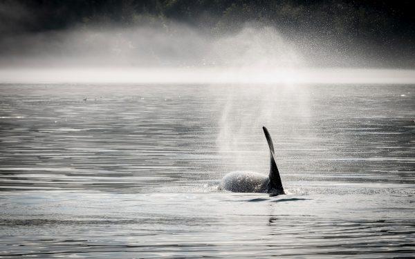 Orca fin swimming away