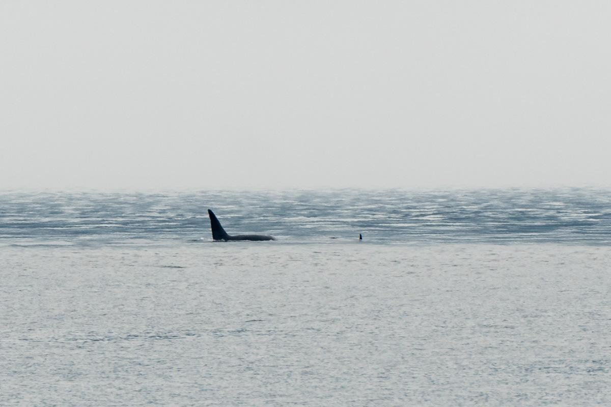 Orca fin Johnstone Strait